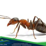 النمل العادى