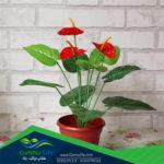 نباتات الظل والزينة